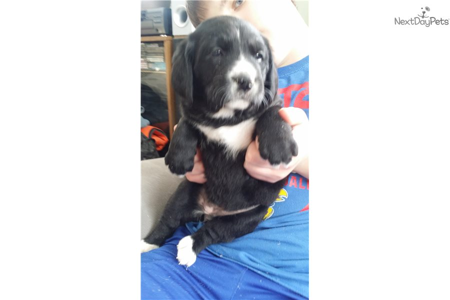 Bernese Mountain Dog Puppy For Sale Near Vermont B329c6be 6af1