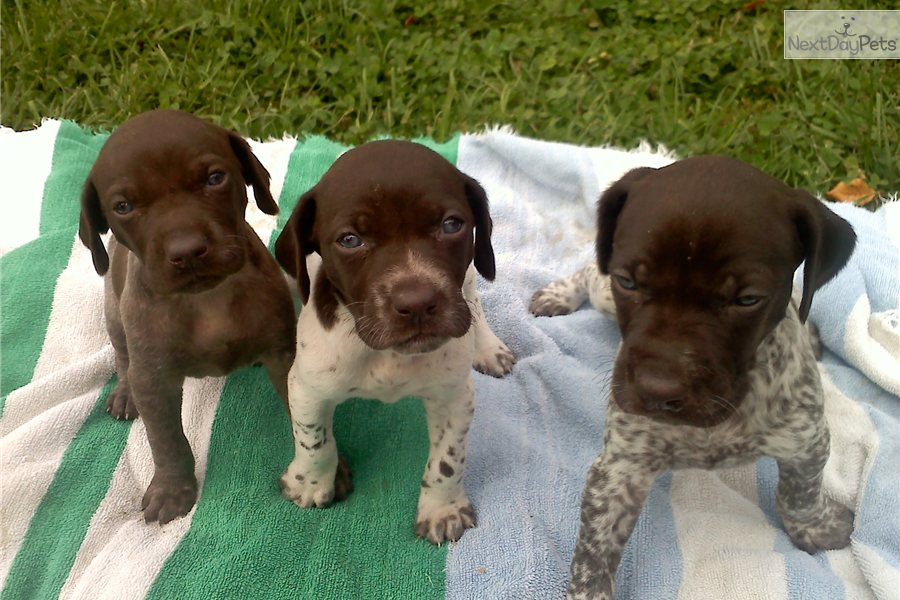 German Shorthaired Pointer Puppy For Sale Near Vermont C9a7faf8