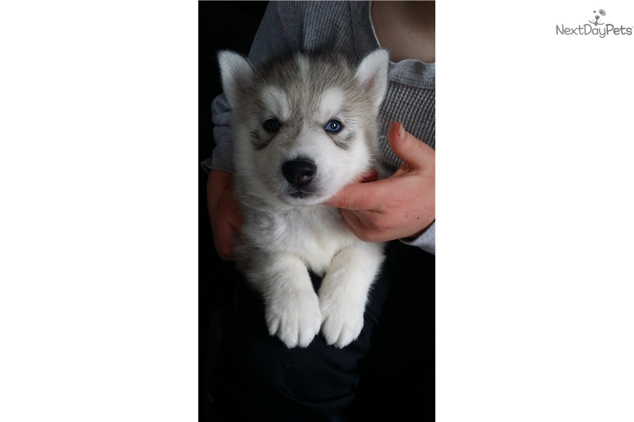Siberian Husky Puppy For Sale Near Vermont 9cac2e8a 00a1
