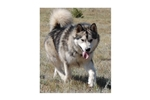 Featured Breeder of Alaskan Malamutes with Puppies For Sale