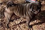 Picture of AKC Ch Bloodline Black Pug Puppy