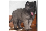 Picture of a Belgian Tervuren Puppy