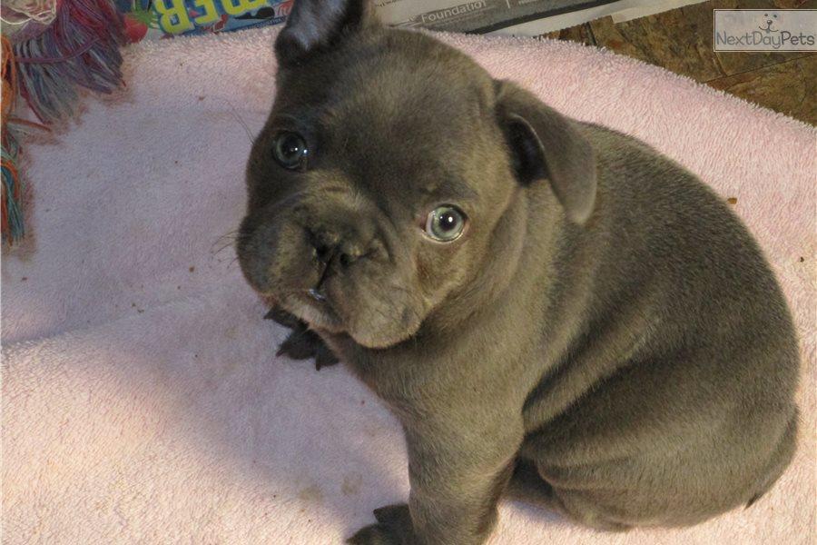 Bella French Bulldog Puppy For Sale Near Eastern Ct Connecticut