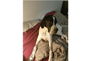 Picture of a Pointer Puppy