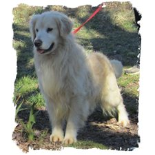 View full profile for Heritage Rock Goldens