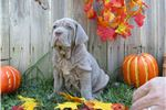 Picture of il Drago Tawny Female Pup available