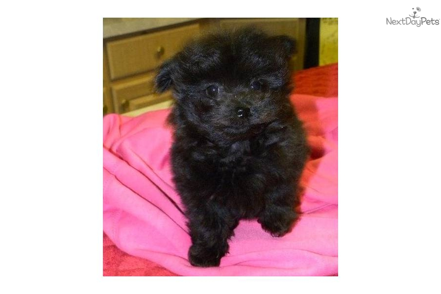 Poma-Poo - Pomapoo puppy for sale near Las Vegas, Nevada ...