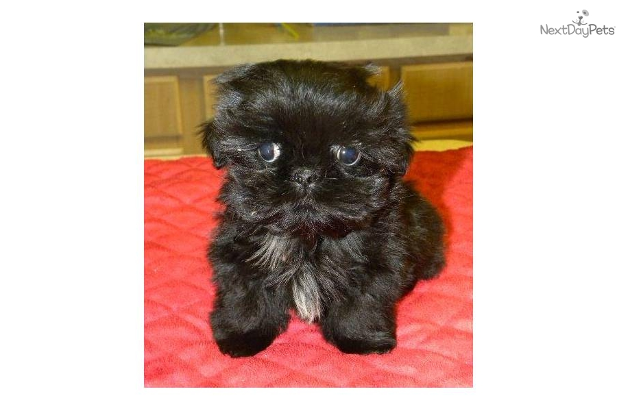 Shih Poo Shihpoo Puppy For Sale Near Las Vegas Nevada