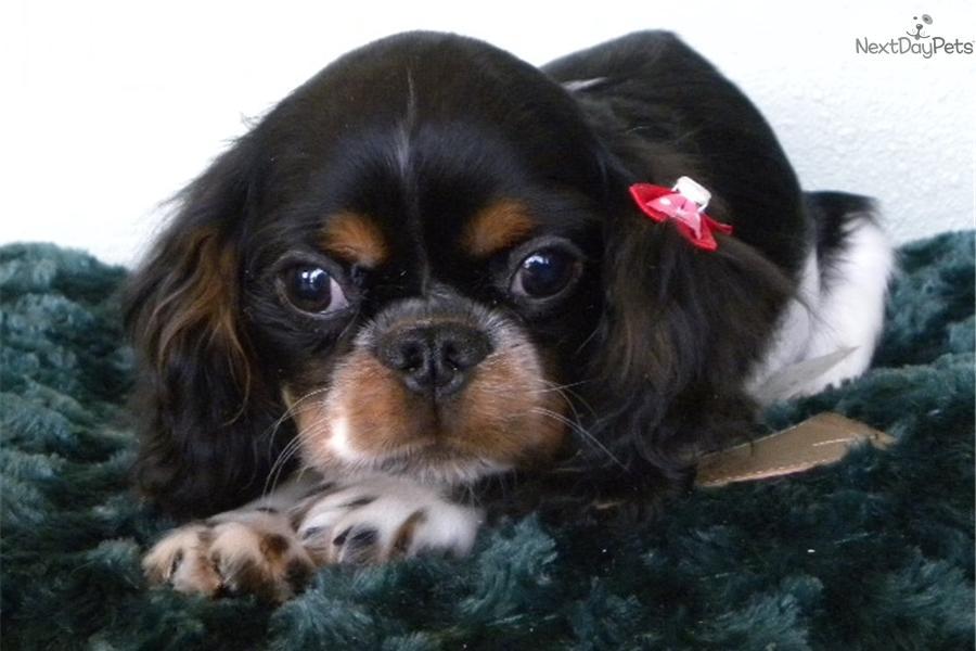 English Toy Spaniel Puppy For Sale Near Las Vegas Nevada