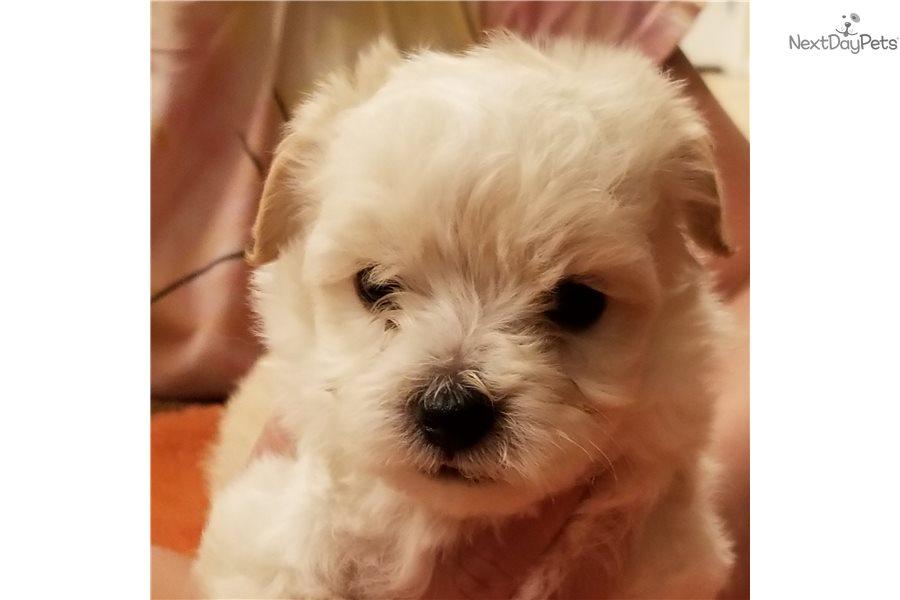 Ellie's Baby Boys: Malti Poo - Maltipoo puppy for sale near