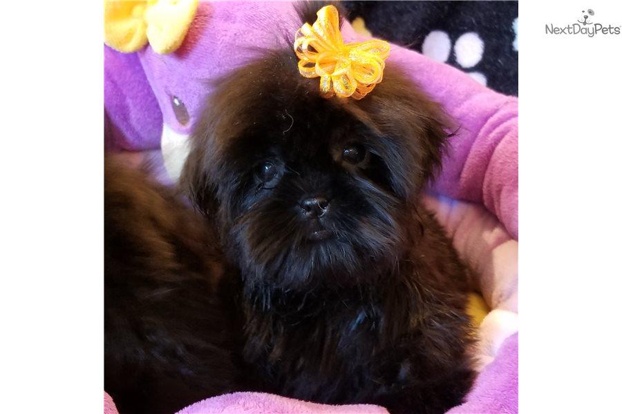 Ebony : Shih-Poo - Shihpoo puppy for sale near Las Vegas