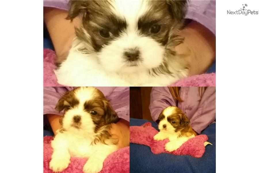 Simis Babies Shih Tzu Puppy For Sale Near Las Vegas Nevada