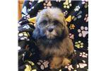 Picture of Cockatzu puppies.