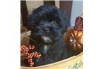 Picture of a Shih Tzu Puppy