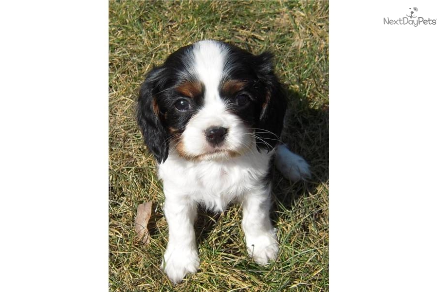 4 6 Year Male Cavalier King Charles Spaniel: Cavalier King Charles Spaniel Puppy For Sale Near St Cloud