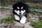 Picture of St. Francis Alaskan Malamutes