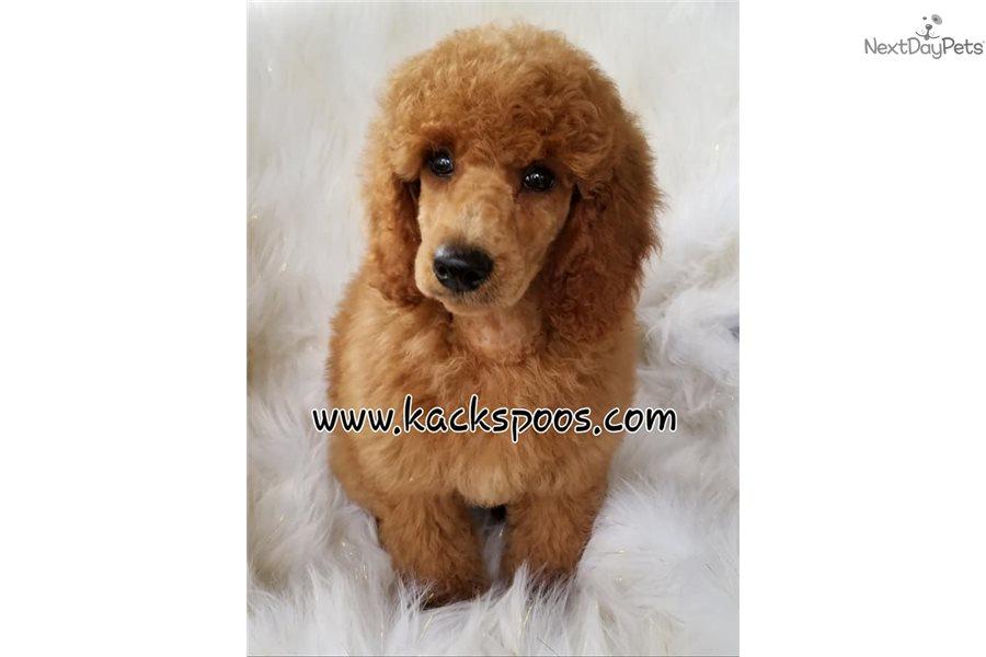 Akc Moyens/Kleins: Poodle, Standard puppy for sale near