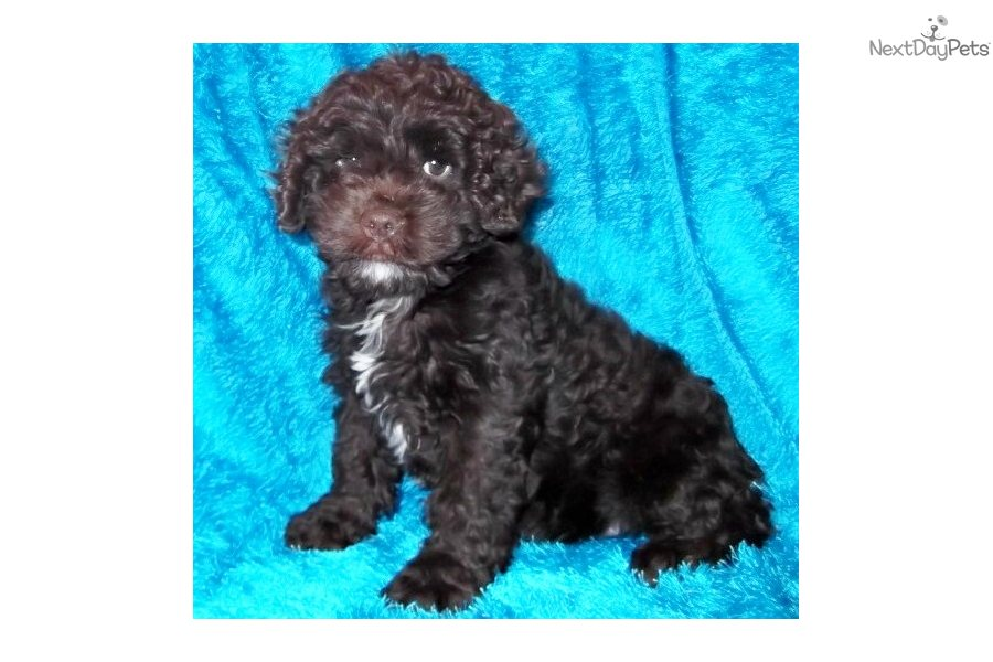 teacup cockapoo | Search Results | Dunia Pictures