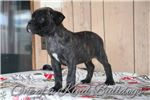 Picture of Brindle | Olde English |