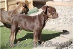 Picture of  | Olde English Bulldogge |
