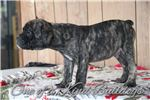 Picture of Brindle| Olde English |