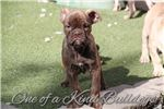 Picture of Chocolate Merle | Olde English |