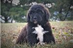Picture of Bear-adorable,cuddly irresistible Saint Berdoodle