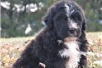 Picture of Bailey - Cuddly Gorgeous Saint Berdoodle