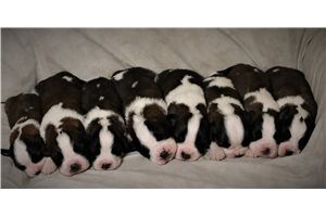 Upcoming Litter | Puppy at 25 weeks of age for sale