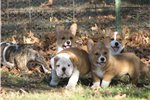 Featured Breeder of Pembroke Welsh Corgis with Puppies For Sale