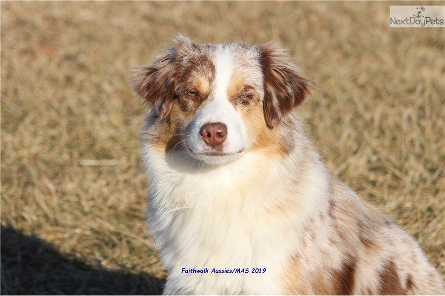 Stella: Miniature American Shepherd puppy for sale near