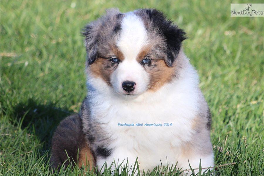 Miniature American Shepherd puppy for sale near Battle Creek