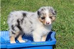 Picture of AKC Australian Shepherd male pup Rocket