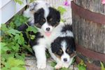 Picture of AKC Australian Shepherd male pup Groot
