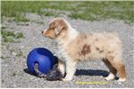 Picture of AKC Miniature American Shepherd female Lyra