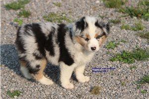 Miniature American Shepherds for sale