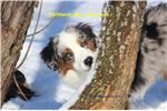 Picture of AKC Grand Ch Sired Mini American Shepherd Litter