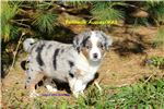 Picture of AKC Miniature American Shepherd litter
