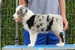 Picture of Blue-eyed, Blue Merle Male Hunter