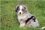 Picture of Blue eyed, full tailed Mini American girl Whisper