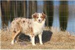 Picture of AKC Miniature American Shepherd adult Stella