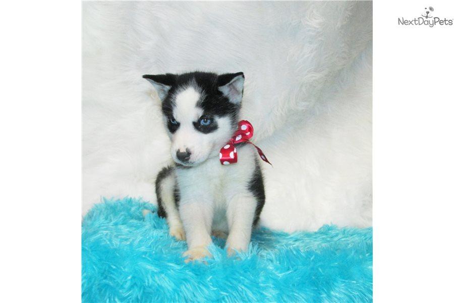 Prince: Siberian Husky puppy for sale near Dallas / Fort Worth
