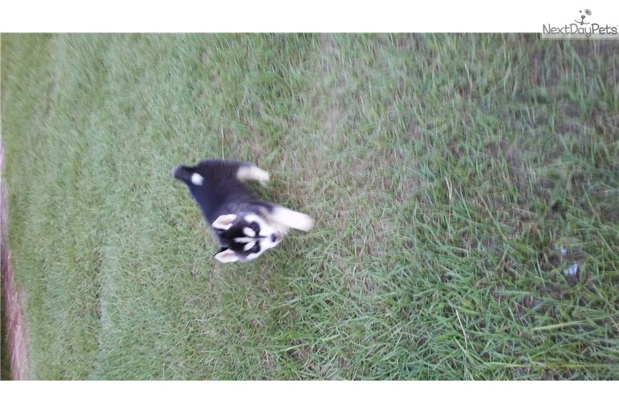 Remy: Siberian Husky puppy for sale near Dallas / Fort Worth, Texas