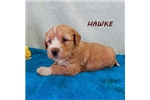 Picture of HAWKE ~ AKC