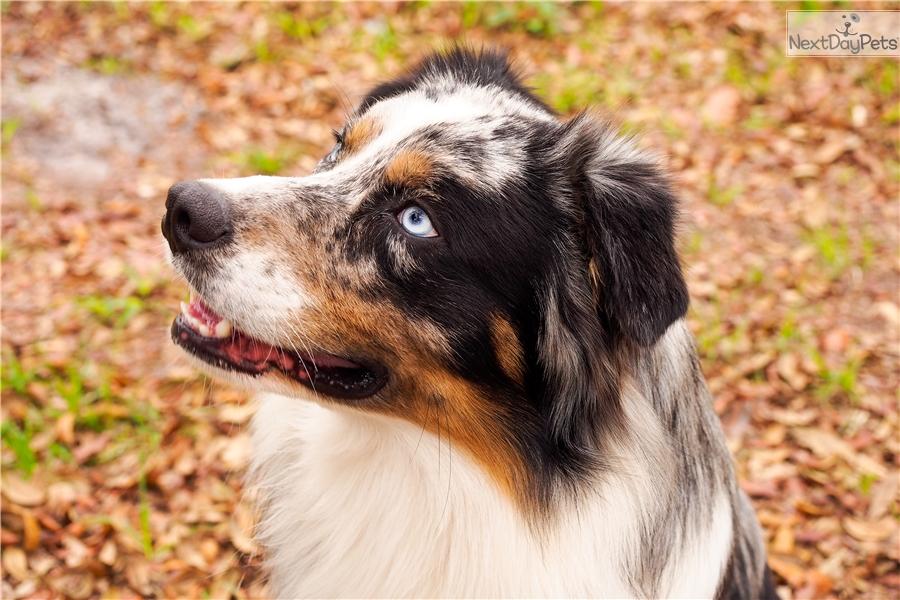 Australian Shepherd Puppy For Sale Near Ocala Florida