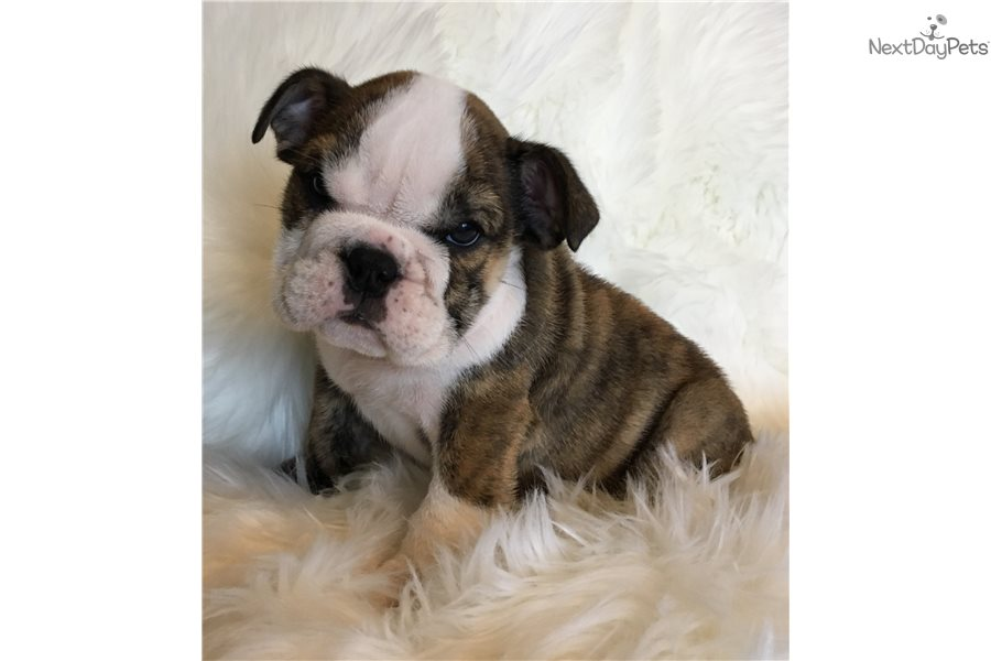 English Bulldog Puppy For Sale Near Houston Texas Bf78246d 9151
