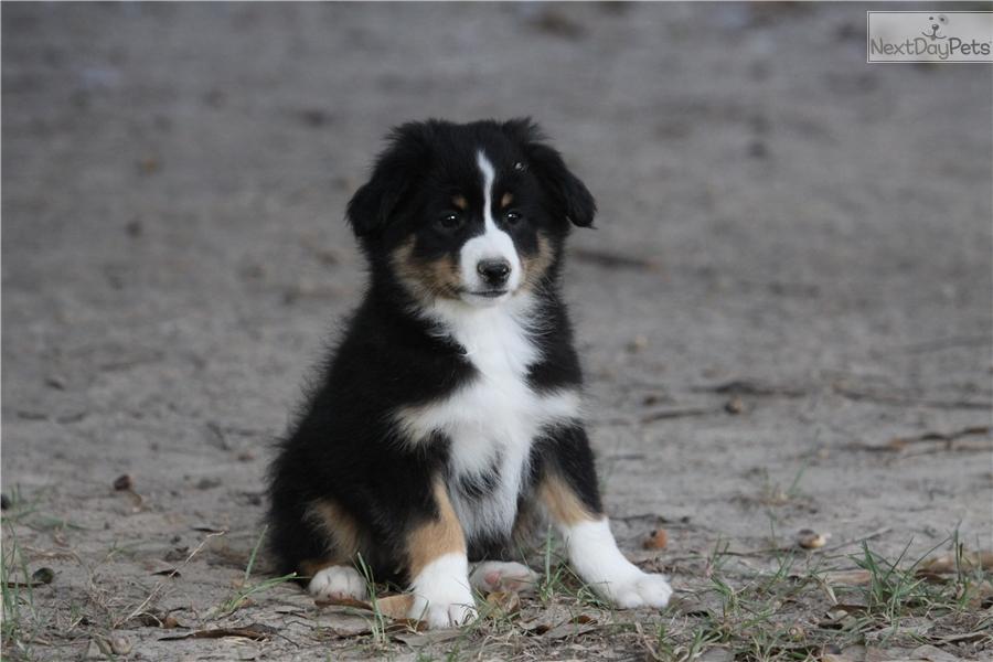 Applejack: Miniature Australian Shepherd puppy for sale near Lake