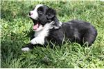 Picture of Rhom, blue eye male, Blk Tri, mini Aussie, ASDR