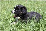 Picture of Trap, Black Tri male Miniature Australian Shepherd