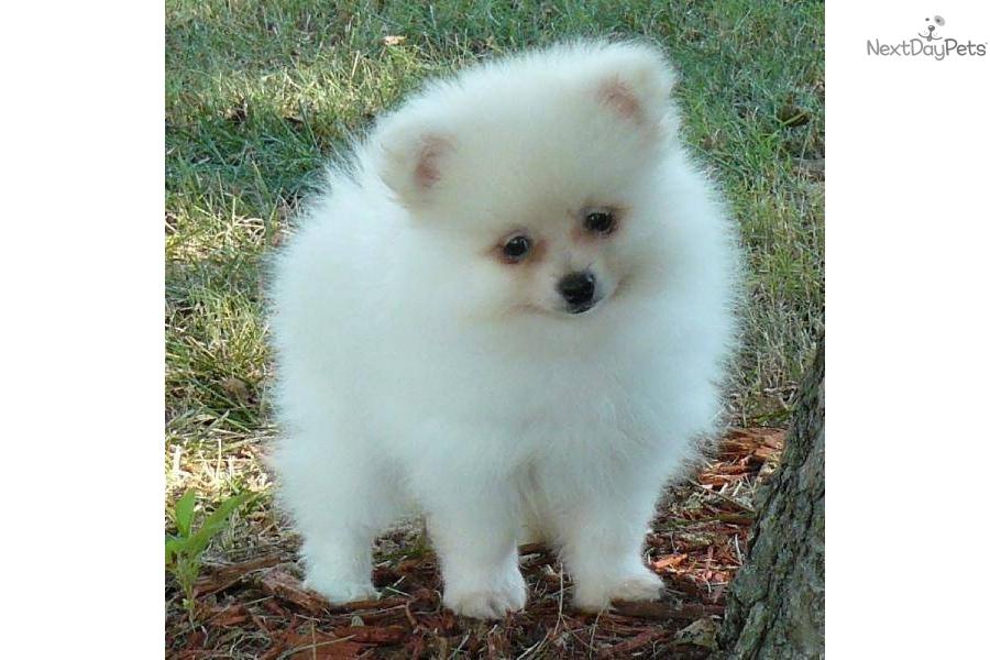 Pomeranian sale ashton